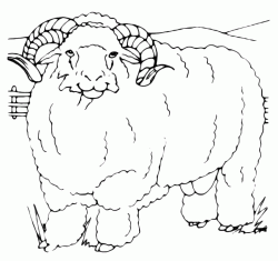 A big mutton sheep