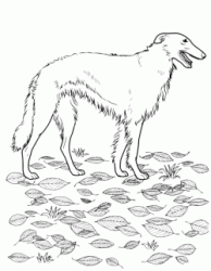 A Borzoi a type of Greyhound breed with hair