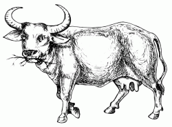 A bull that eats grass