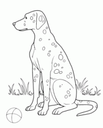 A Dalmatian wants to play with his ball