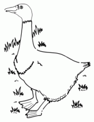 A goose scratching in the grass