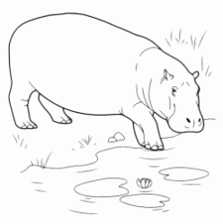 A hippo is entering into the pond