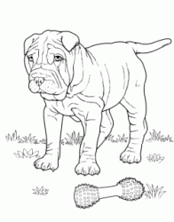 A Shar Pei looks its bone