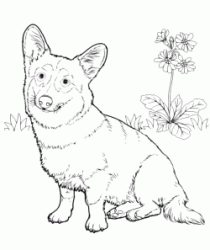 A Welsh Corgi Pembroke breed