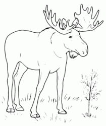 An elk in the woods