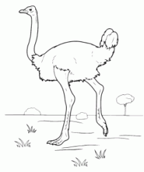 An ostrich walking on the prairie
