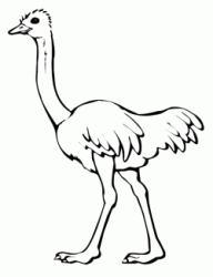 An ostrich walking