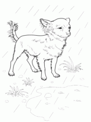 Chihuahua in the rain