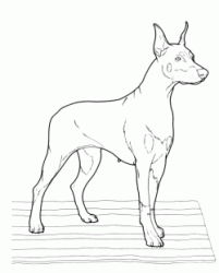 Dobermann breed