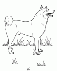 Finnish Spitz breed