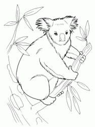 Koala on the branch