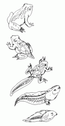 The evolution of a frog
