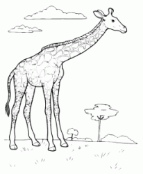 The giraffe in the savannah