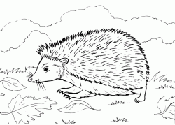 The hedgehog walking in the leaves