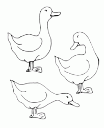 Three ducks eat in the farmyard