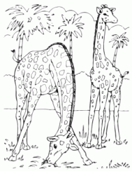 Two giraffes graze