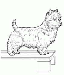 West Highland White Terrier on a table