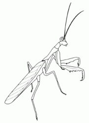 A praying mantis can catch other insects with its strong front legs