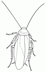 An insect like a cockroach