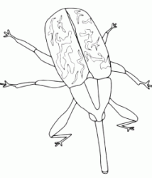 An insect with long nose